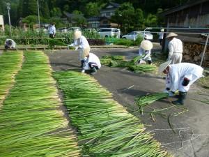 菅の刈り取り作業 菅 伊勢の神宮